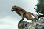 wolf_on_rocks